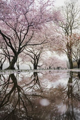 Taiwan Cherry Blossoms - Our Top 5
