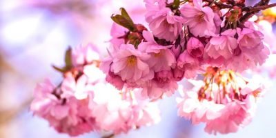 Taiwan Cherry Blossoms – The Best Places to Catch the Flowers in Taiwan